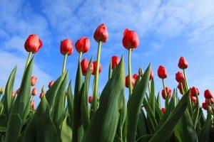 Politiek is gebaat bij meer rode rozen